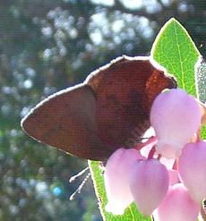 a pixalated  brown elfin butterfly, Callophrys augustinus - grid24_6