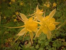 Aquilegia pubescens, Sierra Columbine flowers can vary from yellow to pink