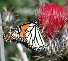 Monarch Butterfly, Danaus plexippus on a native red thistle - grid24_6