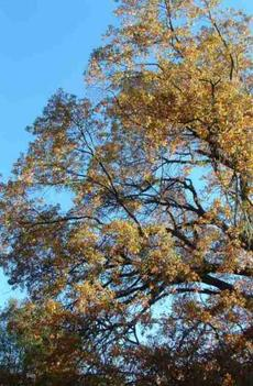 A valley oak, Quercus lobata, going deciduous - grid24_6