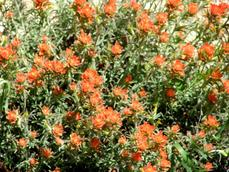 Castilleja foliolosa Woolly Indian Paintbrush - grid24_6