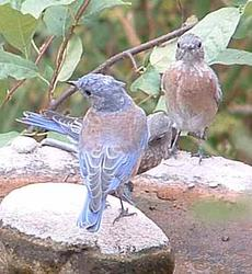 Western Bluebirds at the birdbath - grid24_6