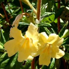 The yellow monkey flower from the Southern Sierra