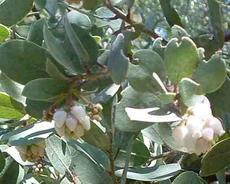 Arctostaphylos glandulosa campbelliae, I swear  all the glandulosas look the same.