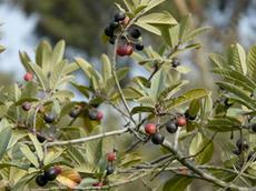 Coffeeberries on coffeeberry - grid24_6