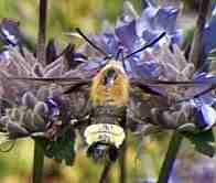 A Bumblebee Moth coming in for a sip of nectar from a Salvia Pozo Blue flower. - grid24_6
