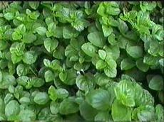 Yerba Buena, Satureja douglasii is a beautiful green groundcover for shade. - grid24_6