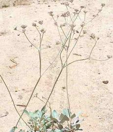 Eriogonum latifolium, Coast Buckwheat in flower. - grid24_6