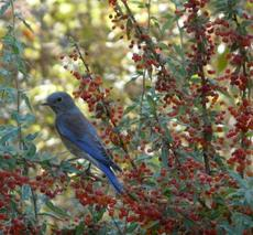 Western Bluebird on Mahonia nevinii, (syn. Berberis nevinii) Nevin's Barberry berries. - grid24_6