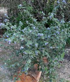 Ceanothus tomentosus is a  pretty different mountain lila that grows in San Diego and Escondido, and up in the Sierras. It will grow fine in Los Angeles or even San Jose. - grid24_6