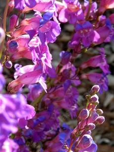Penstemon spectabilis, Showy Penstemon