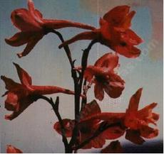 Here is a closeup photo of the red flowers of Delphinium cardinale, Scarlet Larkspur.