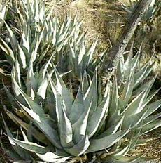 Agave deserti, Desert Agave, here growing in San Felipe Valley of San Diego county, California.  - grid24_6