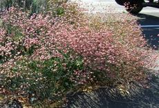 Rosy or Red Buckwheat, Eriogonum grande rubescens, used on the edge of a parking lot in San Luis Obispo. - grid24_6