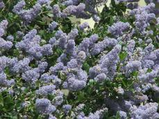Remote Blue Ceanothus has sky blue flowers(yes the sky looks like that)