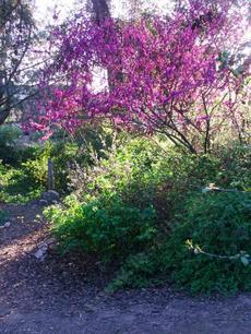 Western Redbud, Cercis occidentalis as a small tree. - grid24_6