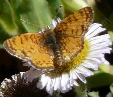 Mylitta Cresent butterfly on a Seaside Daisy - grid24_6