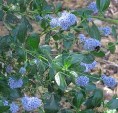 A low form of Ceanothus thyrsiflorus, Blueblossom or Blue blossom Ceanothus