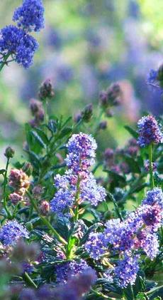 Ceanothus Wheeler Canyon, a mountain lilac from Southern California. - grid24_6