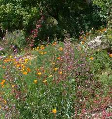 Penstemon and Poppies in a California Native Garden - grid24_6