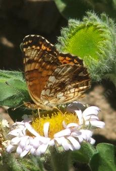 A side view of Mylitta Crescent butterfly on a Seaside Daisy. - grid24_6