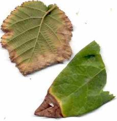 The tips of these leaves exemplify salt burn. Too much of one of the salts, sodium, calcium, or boron common show up this way.  - grid24_6