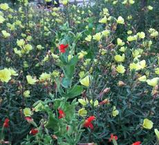 Oenothera hookeri, Evening Primrose, is growing in the sandy Santa Margarita streambed  with Mimulus cardinalis.