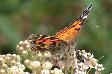 Asclepias fascicularis, Narrow-leaf milkweed with a Painted Lady. The narrow leaf milkweed used to be all over the Los Angeles basin, Malibu, Pasadena and Thousand Oaks down to San Diego. - grid24_6