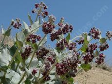 Asclepias californica California Milkweed  in flower
