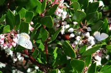 A butterfly on the Harmony Manzanita