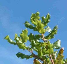 Quercus durata, Leather Oak leaves have their tips rolled under.