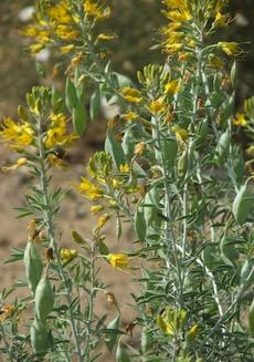 Isomeris arborea, Bladderpod, with its pretty yellow flowers, and strange-shaped fruits, sticks out in a garden, and is at its optimum, in dry, sunny, winter-cool, summer-hot  areas.  - grid24_6