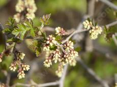 Squaw Bush, Rhus trilobata in flower - grid24_6