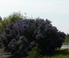 Ray Hartman Ceanothus in full bloom. These plants were 12-15 foot tall and 15 foot wide. with no water in Atascadero. A Great big hedge. - grid24_6