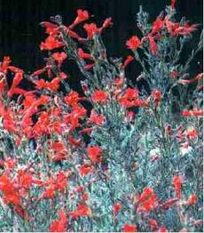 An Old picture of Zauschneria californica Uvas Canyon