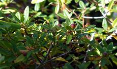 Rhamnus california, Mound San Bruno coffeeberry
