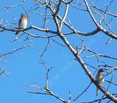 Western Bluebirds up in a Valley Oak Tree. - grid24_6