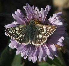 Common checkered skipper on a Seaside Daisy - grid24_6