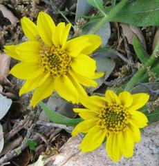 Wyethia angustifolia, Narrowleaf Mule Ears flowers. - grid24_6