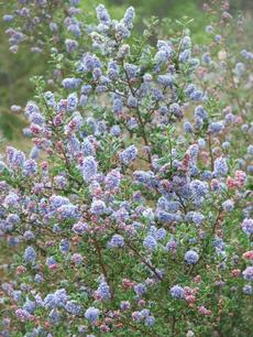 Ceanothus impressus nipomoensis has red buds and royal blue flowers.