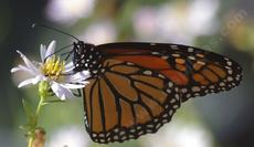 Monarch Butterfly, Danaus plexippus on Aster chilensis - grid24_6