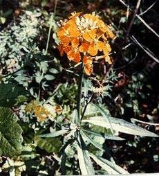 The orange form of Erysimum capitatum, Wallflower. - grid24_6