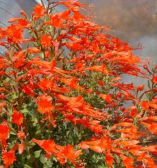 California fuchsia works well in California gardens from San Francisco, Los Angeles, San Diego and into Fresno. - grid24_6