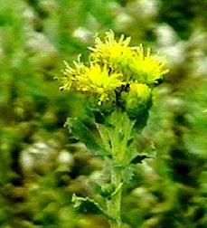 Hazardia squarrosa, Yellow Squirrel Cover, is a great nectar source for insect pollinators.