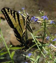 Western Tiger Swallowtail Butterfly,Papilio rutulus working flowers of  Lobelia dunnii - grid24_6