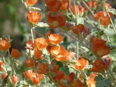 Sphaeralcea ambigua, Desert Mallow makes great flower. - grid24_6