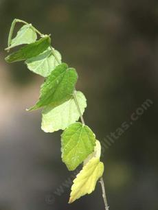 A section of stem with leaves, of Celtis reticulata, Hackberry, not very common in California.