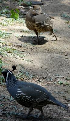California quail, female strut - grid24_6