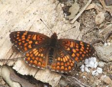 Gabbs Checkerspot Butterfly - grid24_6