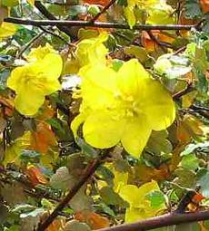 Fremontodendron californicum napensis is fast and very unstable in Southern California